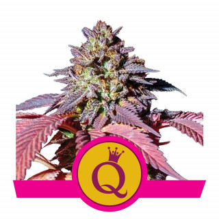 Purple queen royal queen seeds féminisée