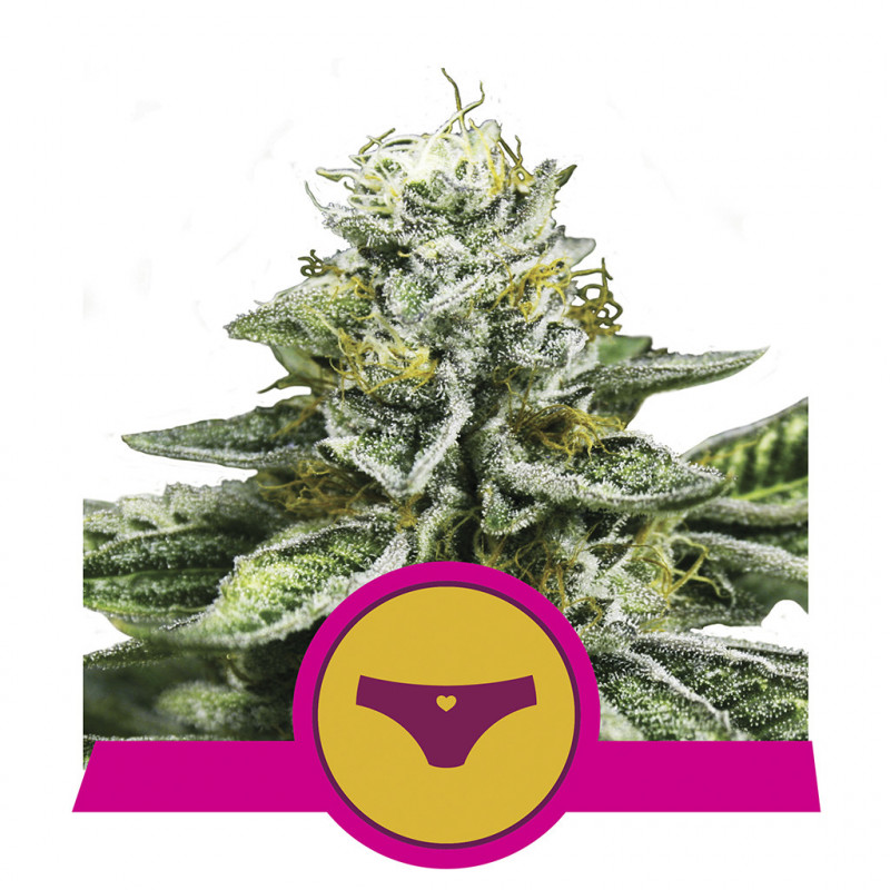 Sherbet queen royal queen seeds féminisée