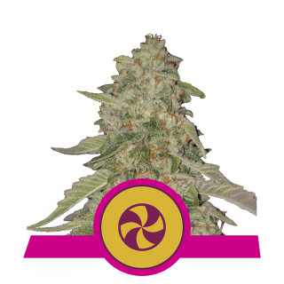Sweet ZZ royal queen seeds féminisée