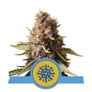 Euphoria CBD royal queen seeds féminisée