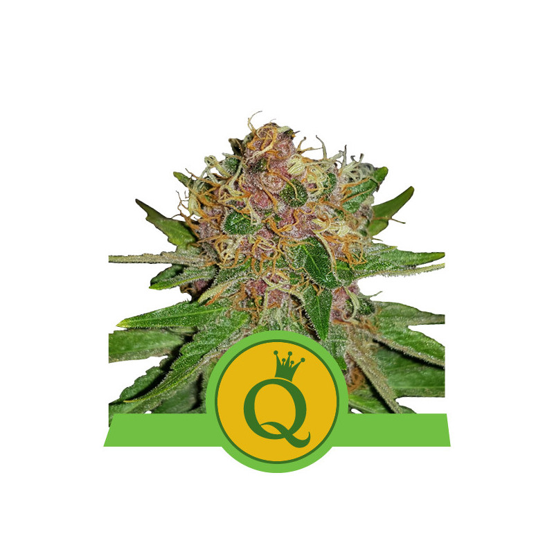 Purple queen automatic royal queen seeds