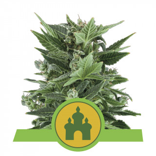 Royal kush automatic royal queen seeds