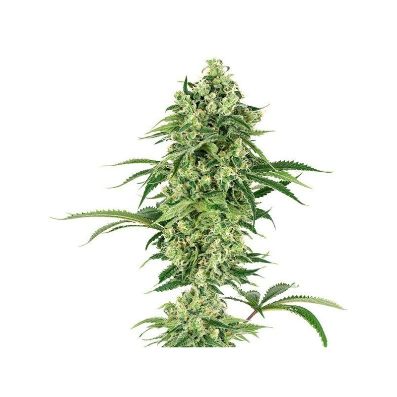 Double banana kush white label seeds