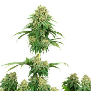 Girl scout cookies white label seeds