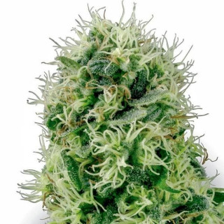 Pure power plant white label seeds 32,00€