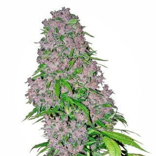 Purple bud white label seeds 14,00€