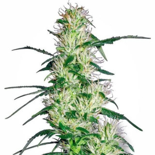 Purple haze white label seeds