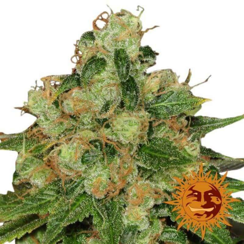 CBD caramel reg - Barney Farm