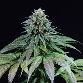 Purple moby dick dinafem seeds féminisée