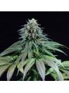Purple moby dick dinafem seeds féminisée