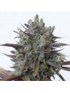 Purple orange cbd dinafem seeds féminisée