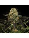 White siberian dinafem seeds féminisée
