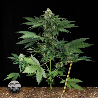Road runner 2 auto dinafem seeds