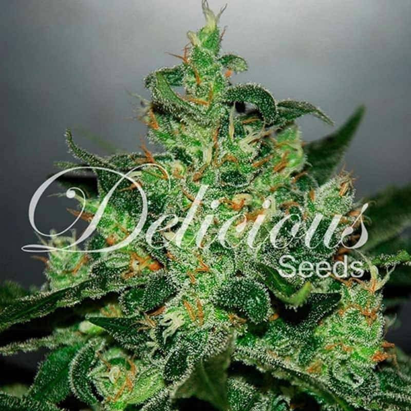 Critical jack herer auto delicious seeds
