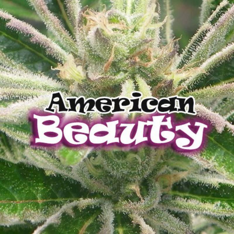 American beauty dr underground