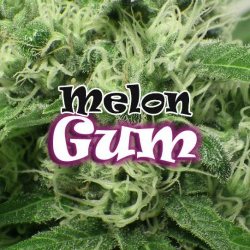 Melon gum dr underground féminisée