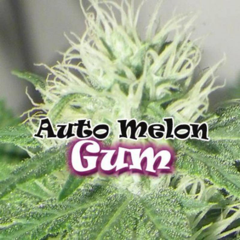 Melon gum auto dr underground