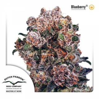 Blueberry dutch passion régulière