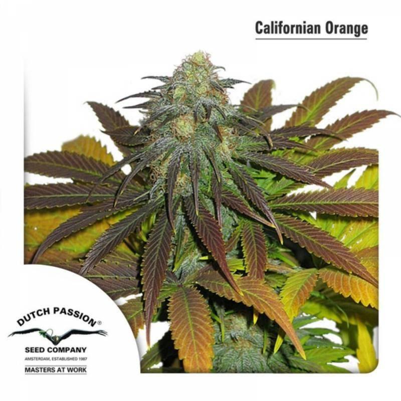California orange dutch passion féminisée
