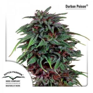 Durban poison dutch passion féminisée