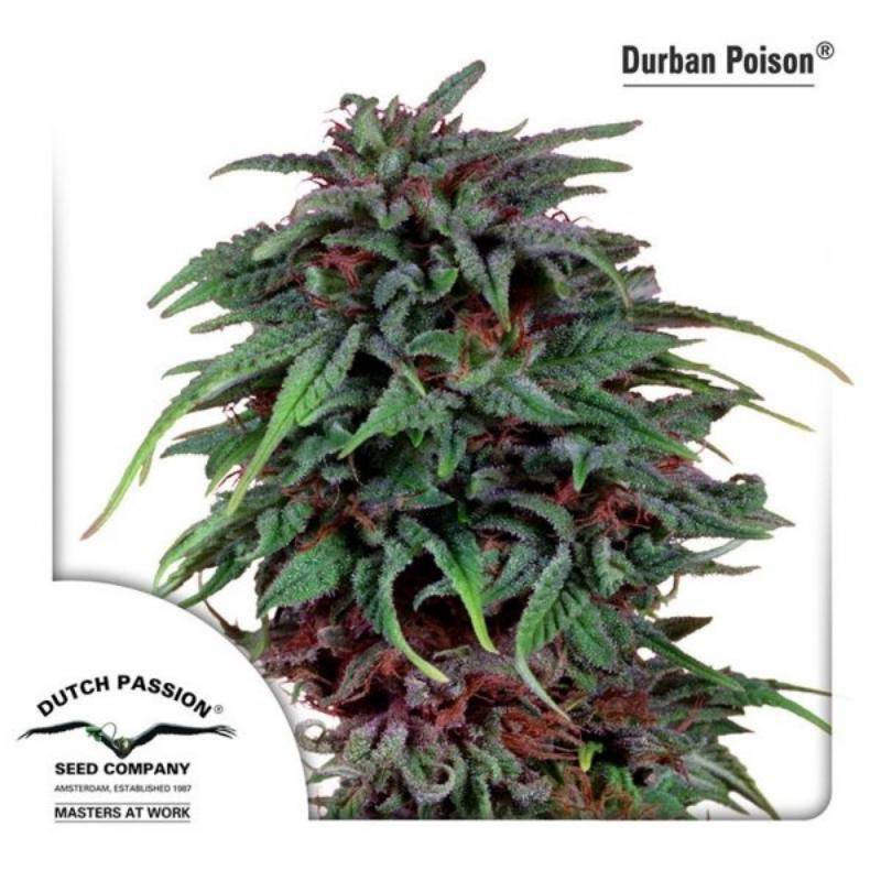 Durban poison dutch passion féminisée