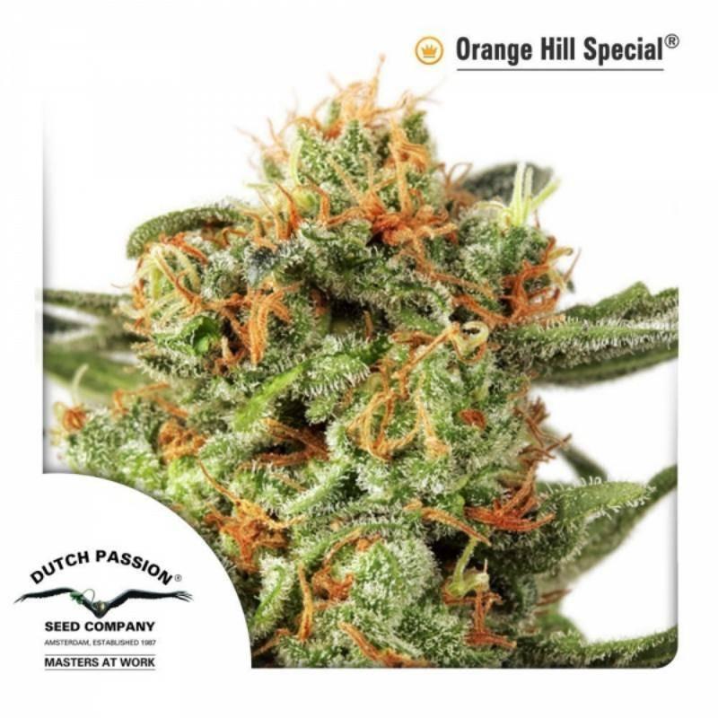 Orange hill special dutch passion féminisée