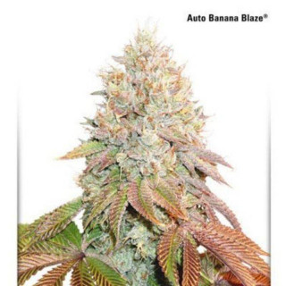 Auto banana blaze dutch passion