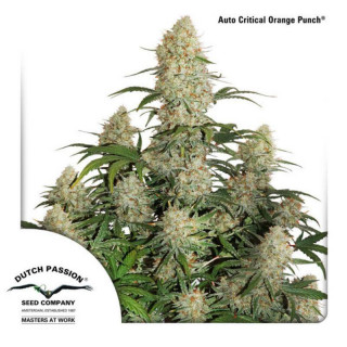 Auto critical orange punch dutch passion