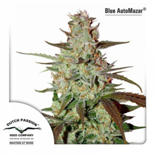 Blue autoMazar dutch passion