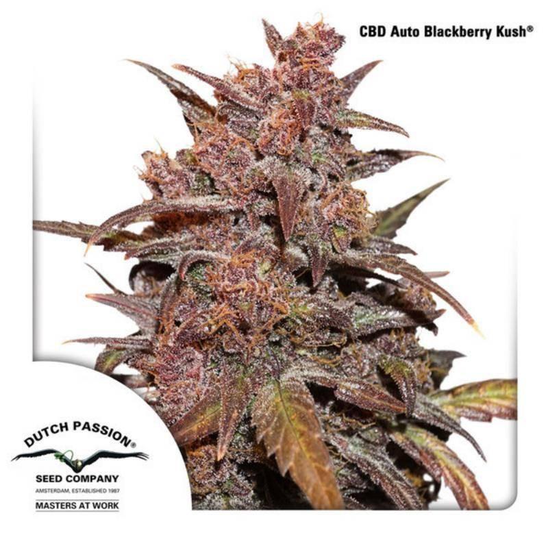 CBD auto blackberry kush dutch passion