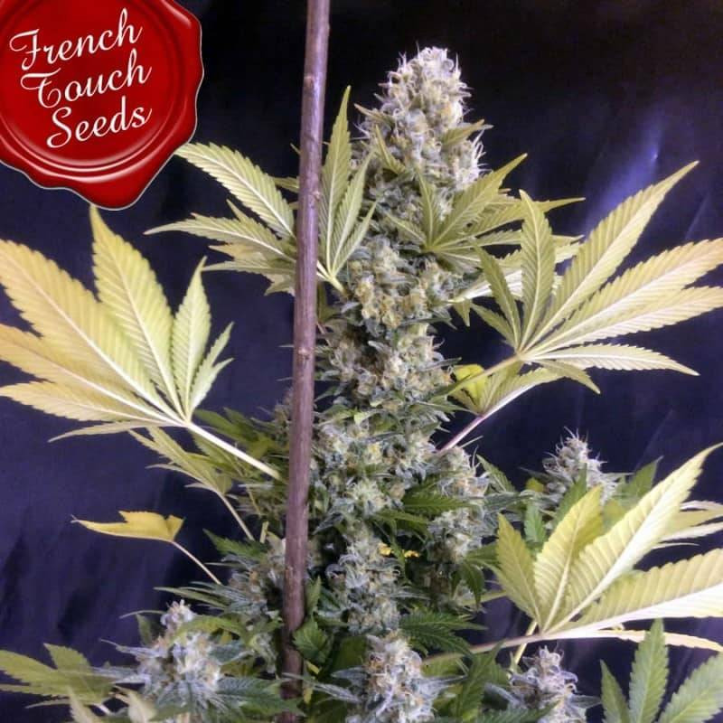 Frencheese french touch seeds féminisée