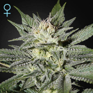 King's kush cbd féminisée greenhouse seeds