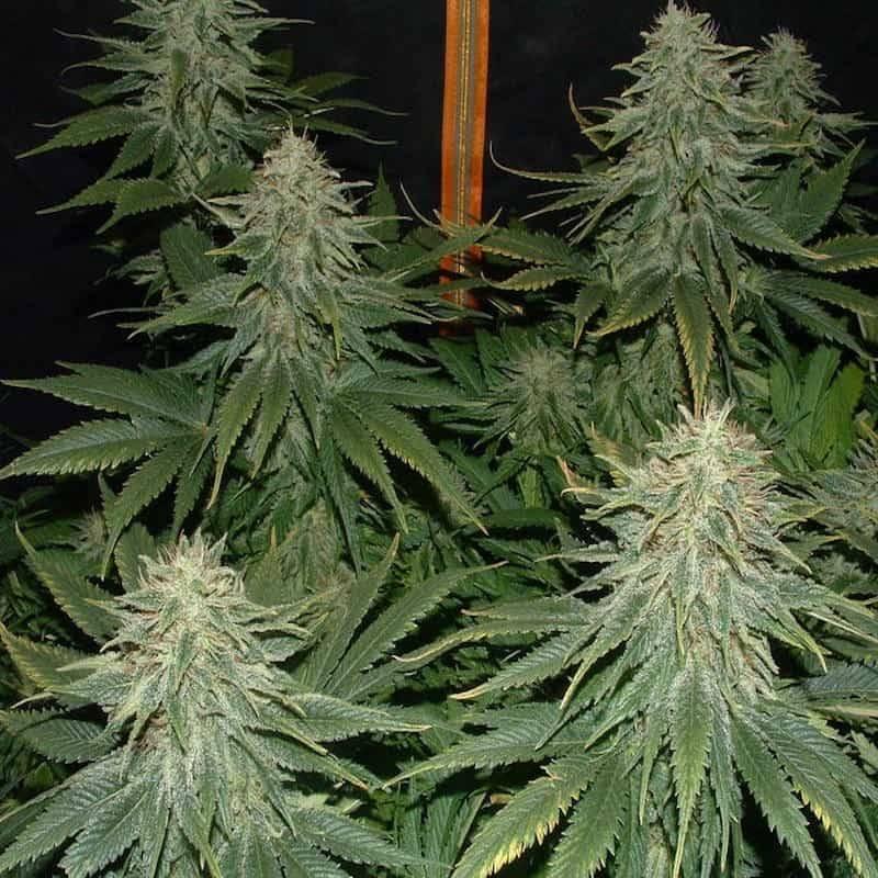 Super bud green house seeds féminisée