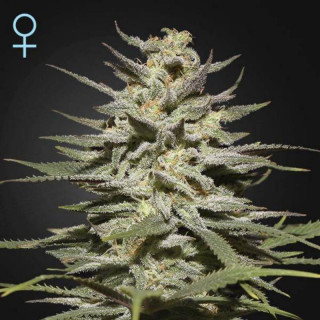 Super lemon haze cbd greenhouse seeds féminisée