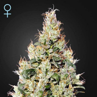 Exodus cheese auto CBD green house seeds
