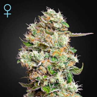 King's kush auto CBD green house seeds