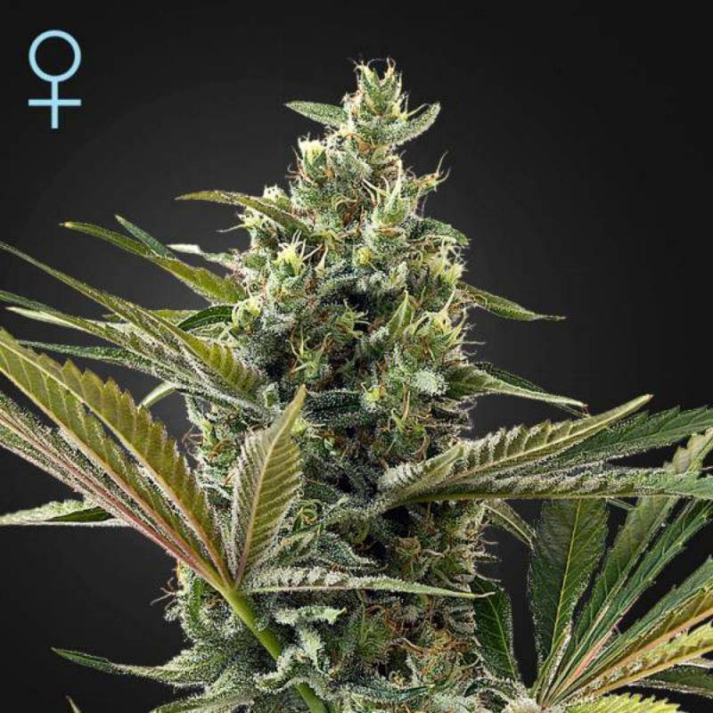 Super lemon haze auto CBD green house seeds