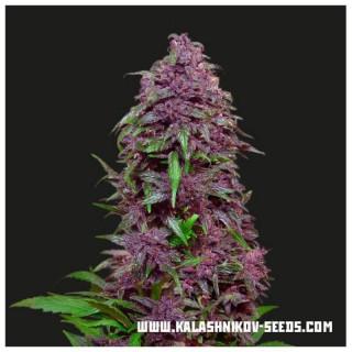 Purple mazar auto kalashnikov seeds