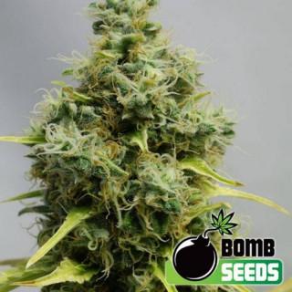 Big bomb - bomb seeds - régulières