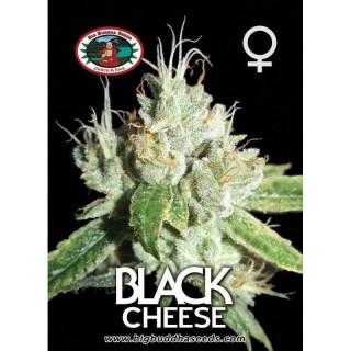 Black cheese big buddha seeds - féminisée