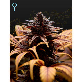 Deep candy green house seeds feminisee