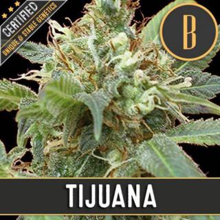 Tijuana blimburn seeds féminisée