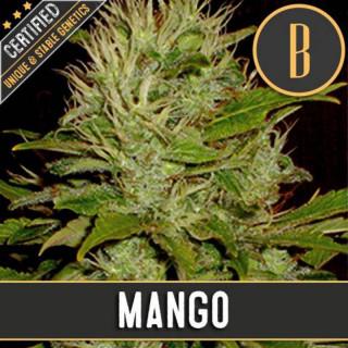 Mango blimburn seeds féminisée