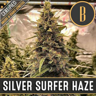 Silver surfer haze blimburn seeds