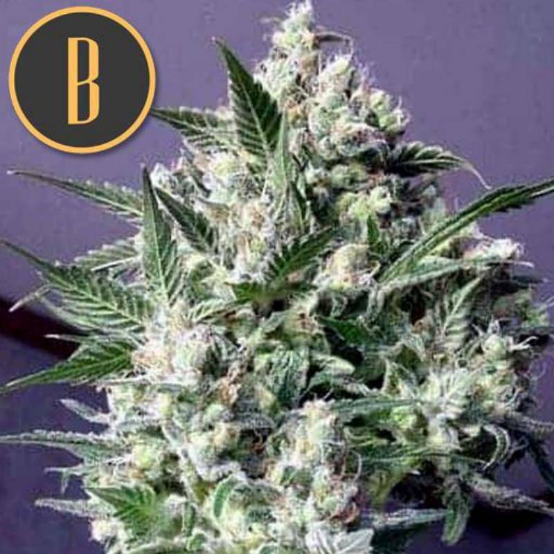 Dama blanca blimburn seeds
