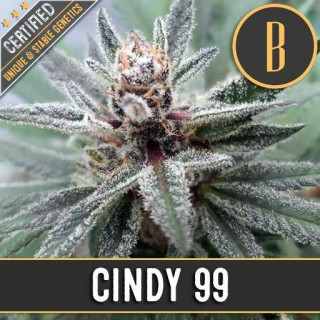 Cindy 99 blimburn seeds