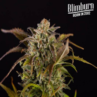 Grizzly purple kush blimburn seeds