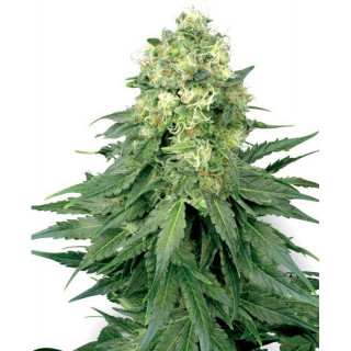 White widow white label seeds feminisee
