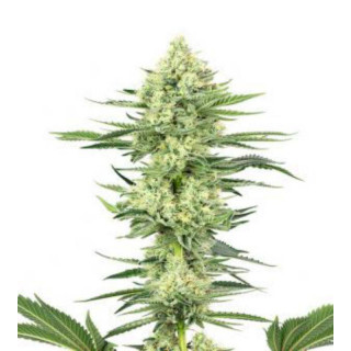 Strawberry kush white label seeds feminisee