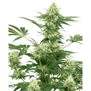 Wedding cheesecake white label seeds